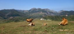 Vacas en la ruta