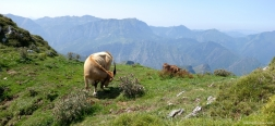 Cows on the ascent to the Pico Pierzo