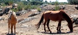 Paarden op de dehesa