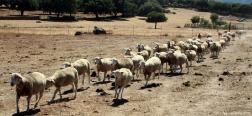 Sheep near dolmen El Colchero
