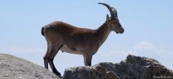 Iberian ibex