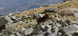 Iberische steenbok