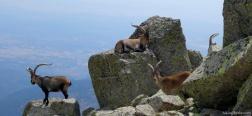 Iberische steenbokken