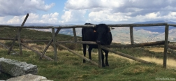 Koe bij de Berghut van Los Cernuvales