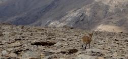 Cabra en el Mulhacén