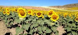 Zonnebloemen bij Sigüenza