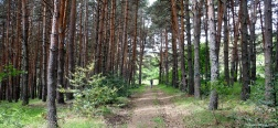 Pine forest near La Dehesa