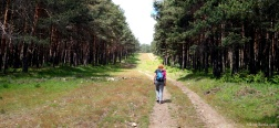 Pine forest near La Dehesa