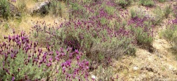 Lavender on the Alto del Pinar