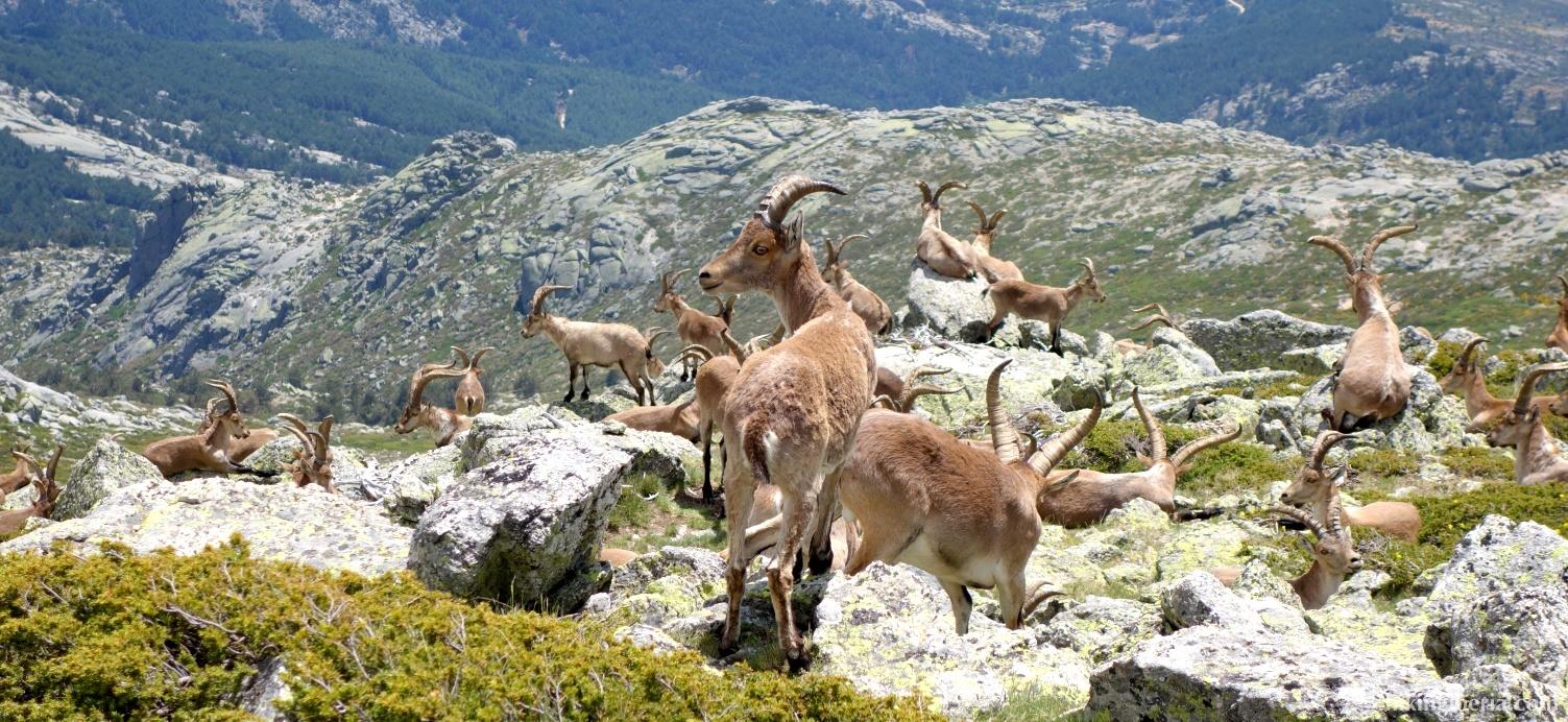 Cabras cerca de la Cabeza de Hierro Menor