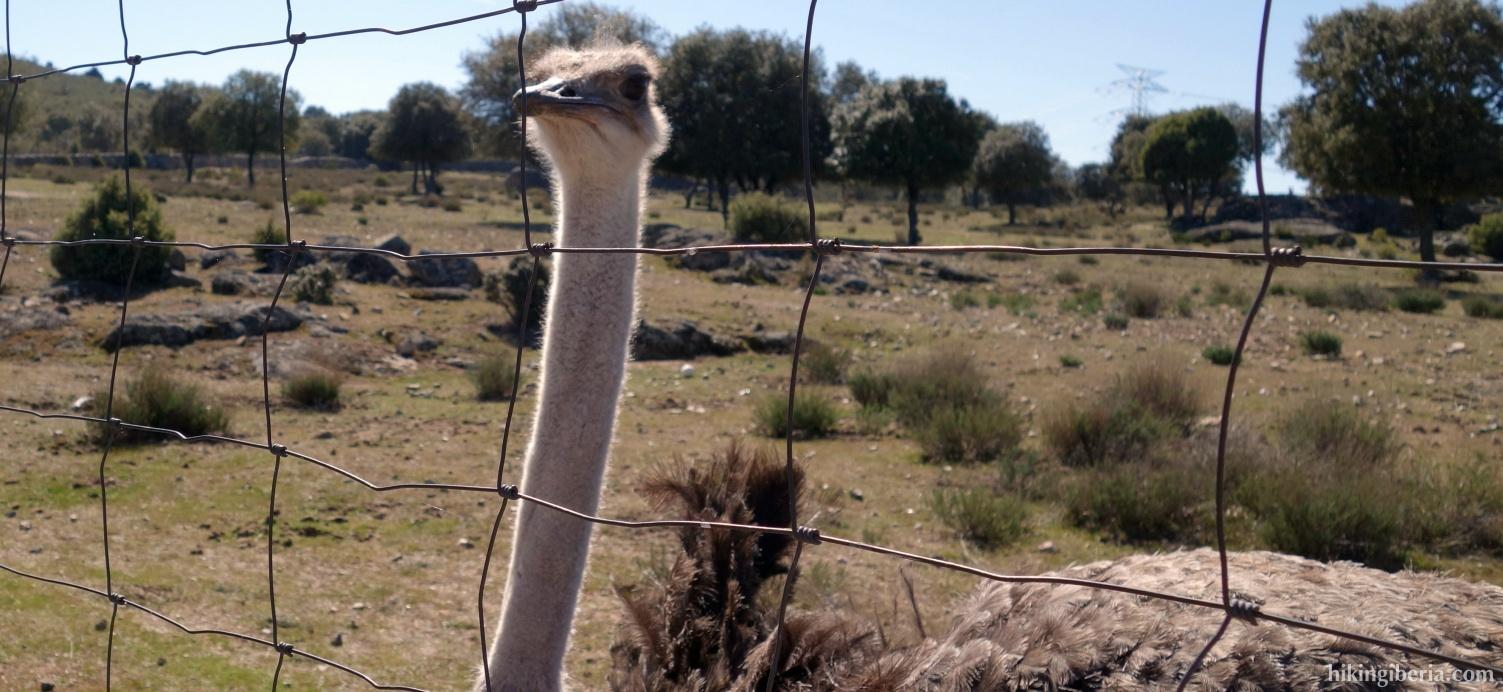 Ostrich near Mirador de la Sierra