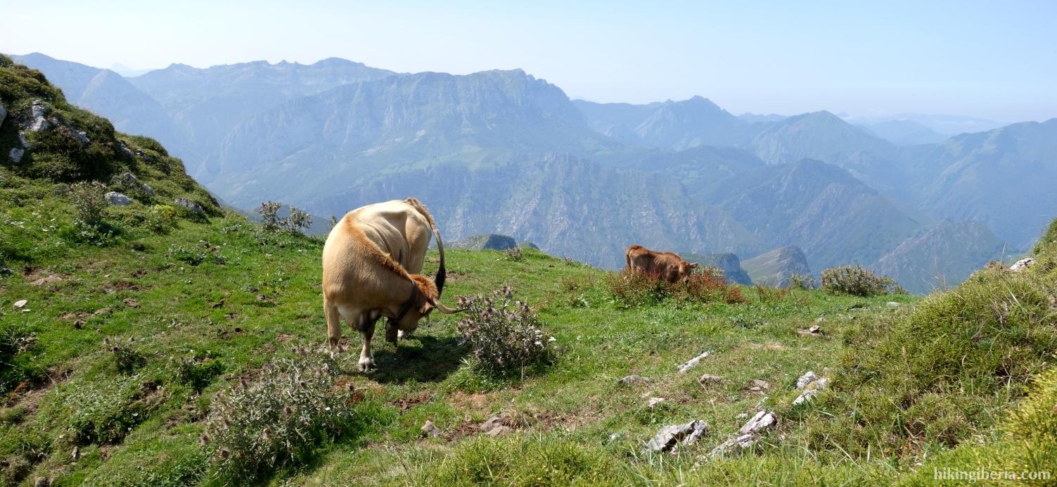 Vacas en el ascenso al Pico Pierzo