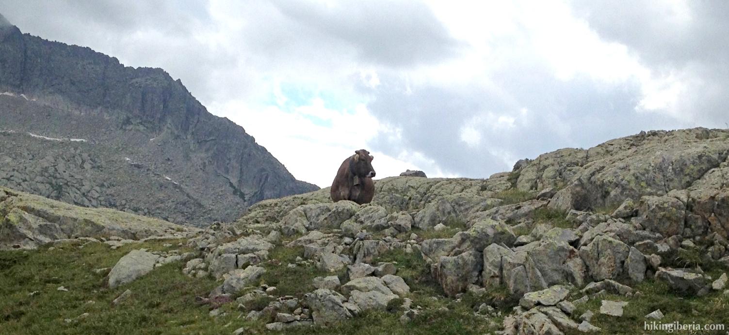 Vaca cerca del Estany de Travessani