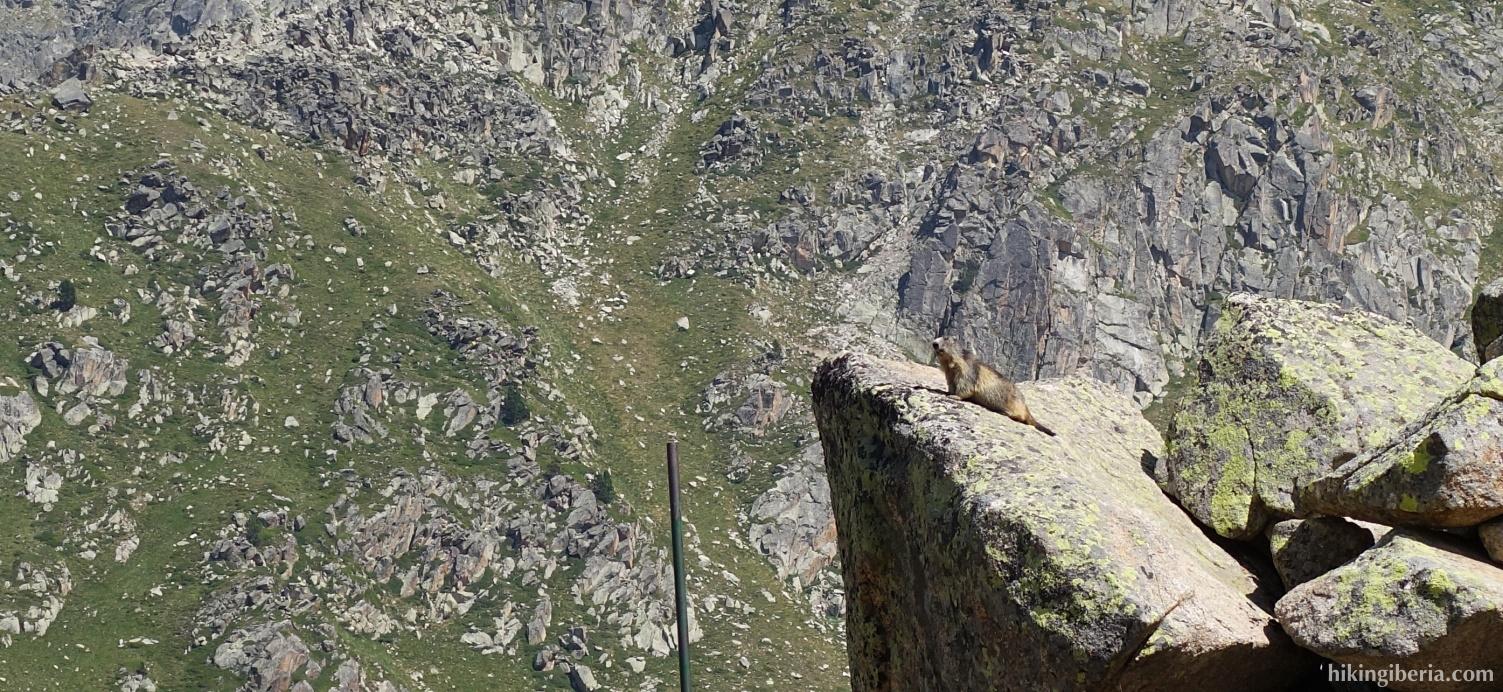 Marmota en el Pirineo