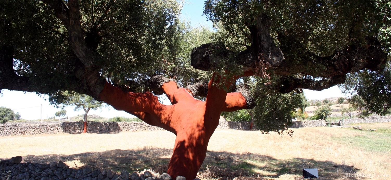 Uncorked tree on the dehesa