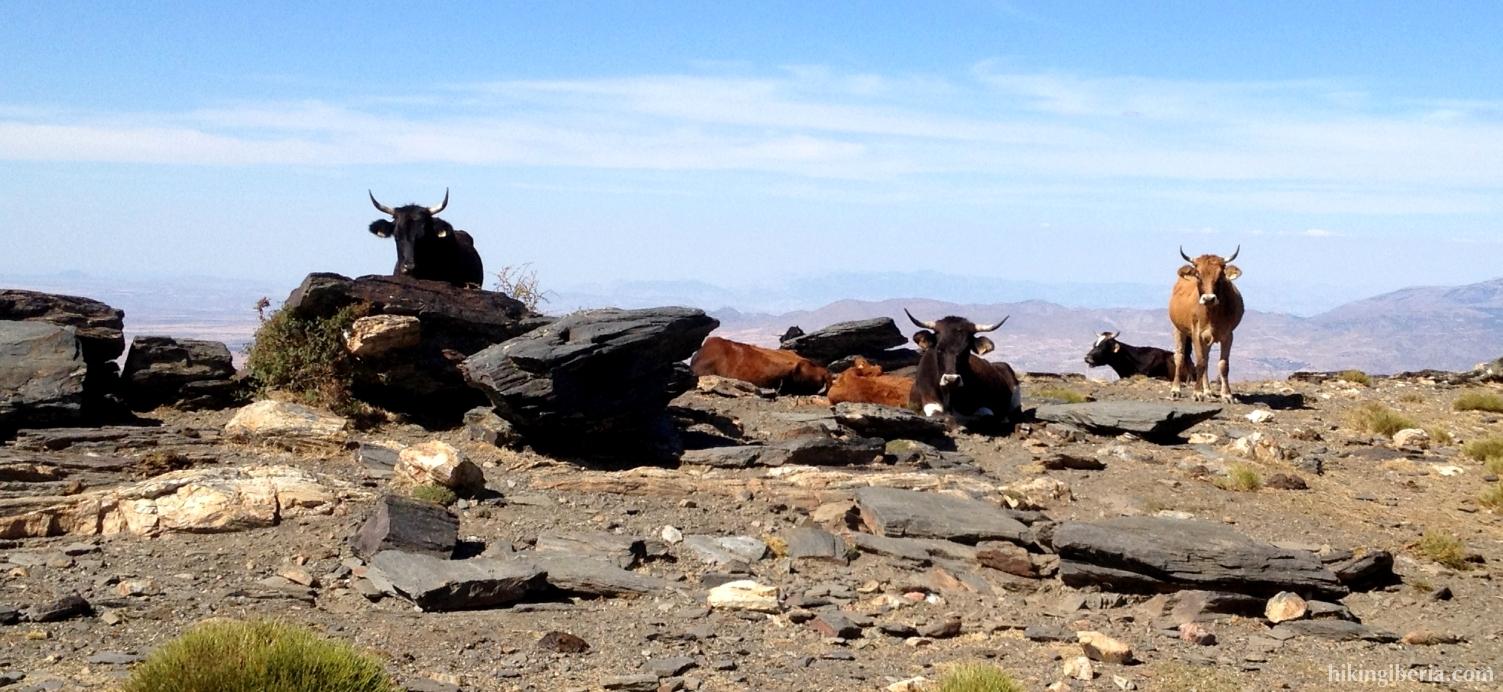 Koeien vlakbij Las Chorreras