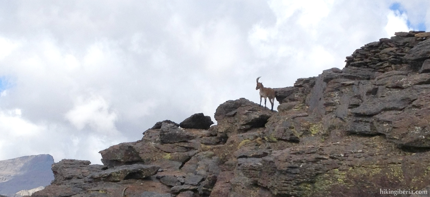 Cabra durante subda Mulhacén