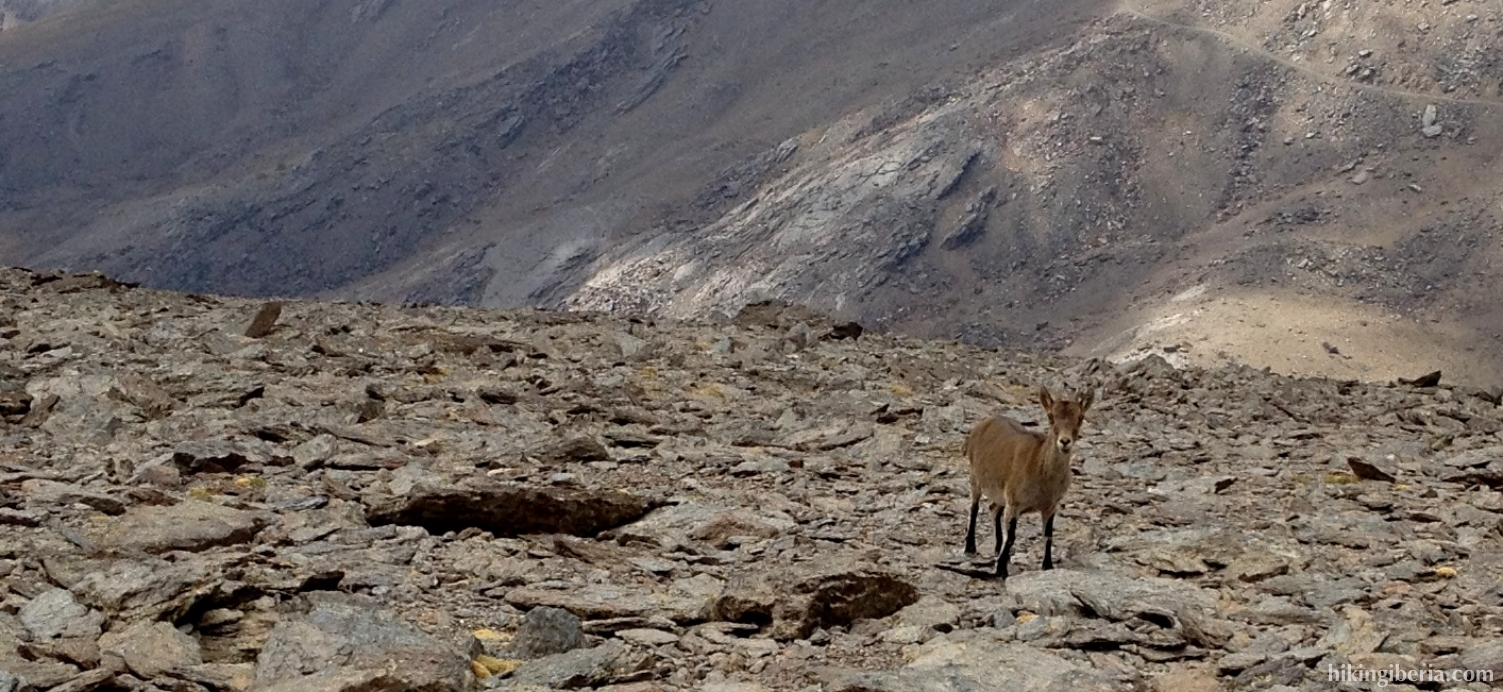 Mountain goat on the Mulhacén