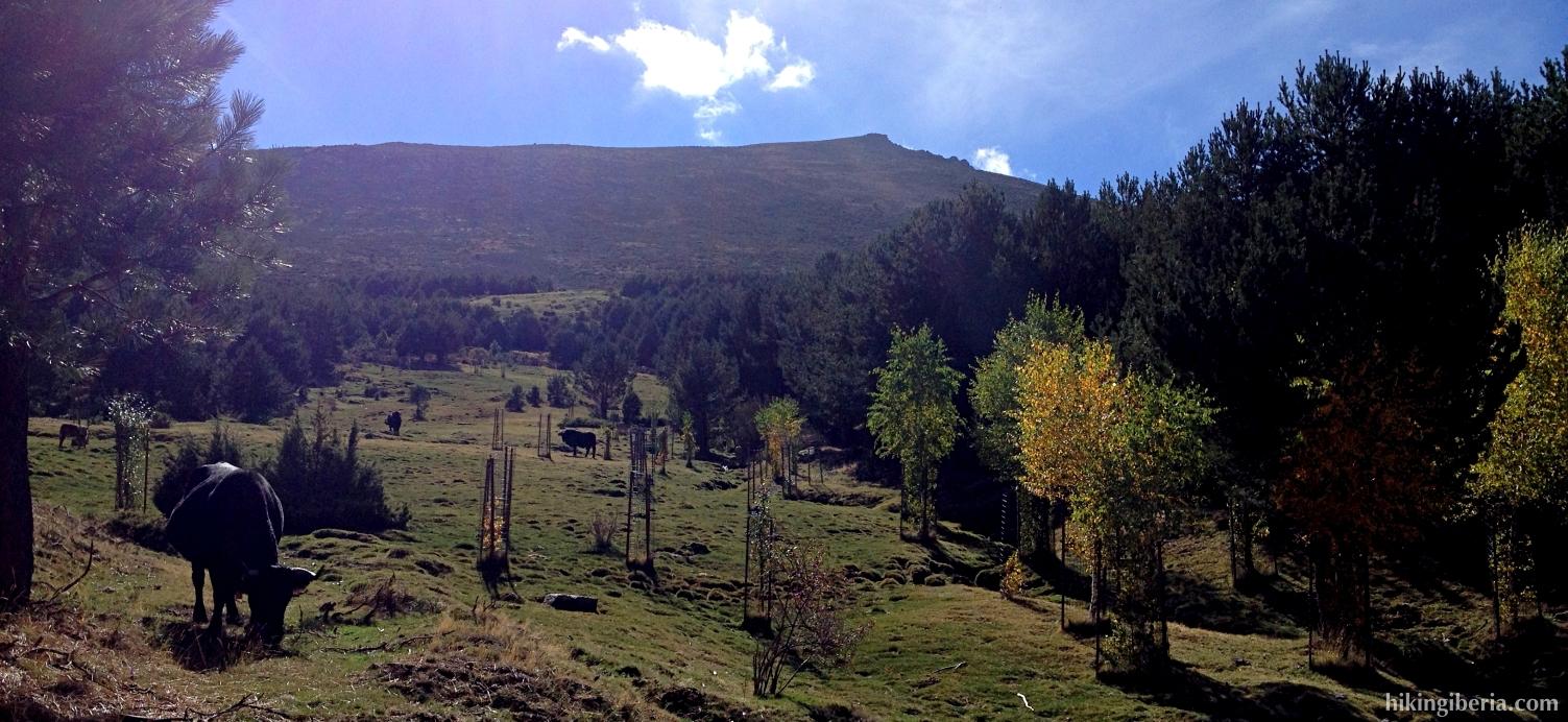 Vaca en el Canchal