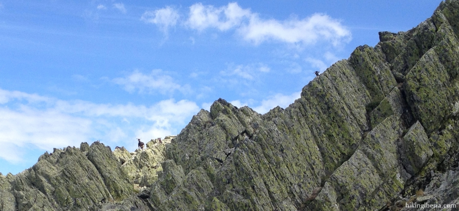Goats on the Pico Centenera