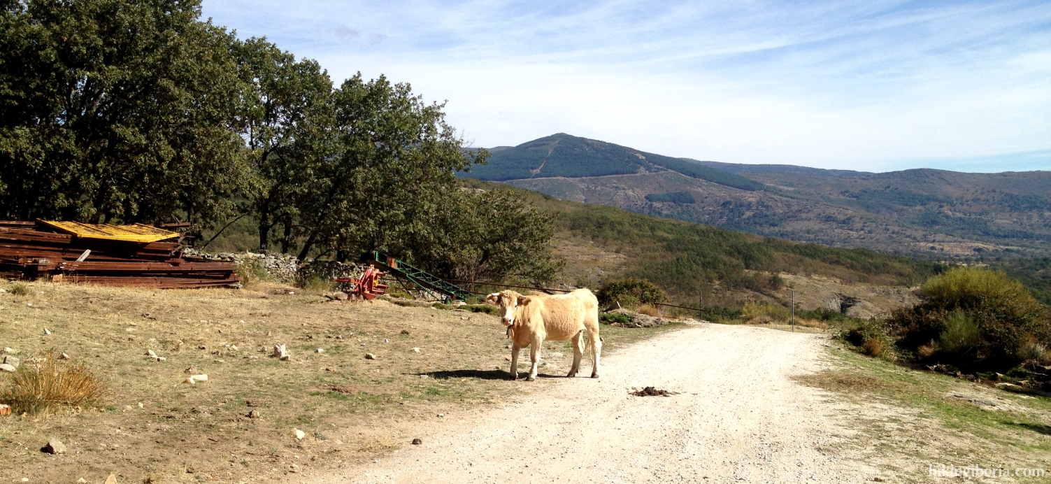 Vaca cerca de La Acebeda