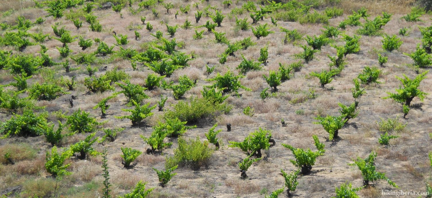 Wijnvelden rond San Martín de Valdeiglesias